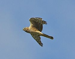 Hen Harrier photographed at Pleinmont [PLE] on 16/5/2013. Photo: © Royston Carr�