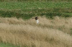 Hen Harrier photographed at Pleinmont on 15/8/2013. Photo: © Jay Friend