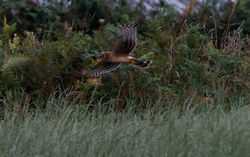 Hen Harrier photographed at Pleinmont [PLE] on 17/8/2013. Photo: © Dan Scott