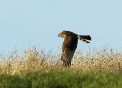 Hen Harrier photographed at Mont Herault on 18/8/2013. Photo: © Anthony Loaring