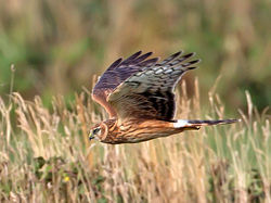 Hen Harrier photographed at Pleinmont [PLE] on 21/8/2013. Photo: © Mike Cunningham