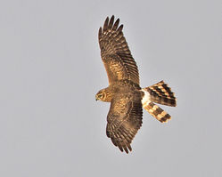 Hen Harrier photographed at Pleinmont [PLE] on 22/8/2013. Photo: © Mike Cunningham