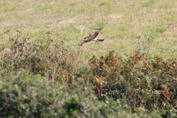 Hen Harrier photographed at Pleinmont [PLE] on 28/8/2013. Photo: © Jay Friend