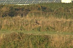 Hen Harrier photographed at Pleinmont [PLE] on 3/9/2013. Photo: © Jay Friend