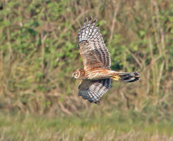 Hen Harrier photographed at Mt. Herault [MHE] on 3/9/2013. Photo: © Mike Cunningham