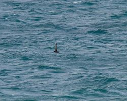 Sooty Shearwater photographed at Jaonneuse [JAO] on 18/9/2013. Photo: © Vic Froome