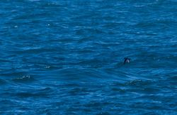 Balearic Shearwater photographed at Jaonneuse [JAO] on 20/9/2013. Photo: © Vic Froome