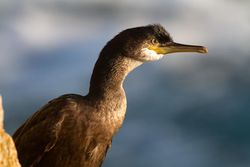Shag photographed at Jaonneuse [JAO] on 20/9/2013. Photo: © Vic Froome