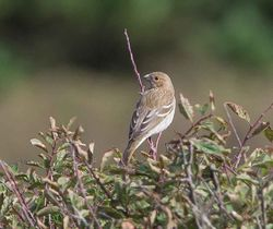 Common Rosefinch photographed at Pleinmont [PLE] on 22/9/2013. Photo: © Adrian Gidney