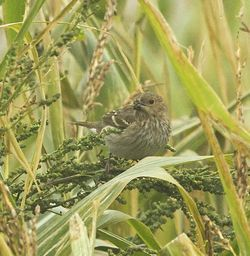 Common Rosefinch photographed at Pleinmont on 22/9/2013. Photo: © Anthony Loaring