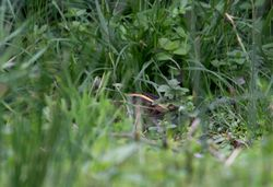 Jack Snipe photographed at Rue des Bergers [BER] on 1/10/2013. Photo: © Vic Froome