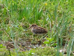 Jack Snipe photographed at Rue des Bergers [BER] on 5/10/2013. Photo: © Tracey Henry