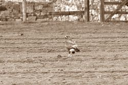 Buzzard photographed at St Martin (Parish) on 22/11/2013. Photo: © Jay Friend
