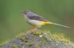 Grey Wagtail photographed at St Martin (Parish) on 9/1/2014. Photo: © Chris Bale