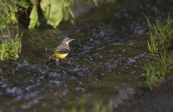 Grey Wagtail photographed at Petit Bot [BOT] on 8/1/2014. Photo: © Karen Jehan