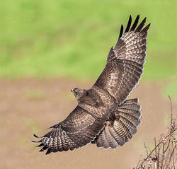 Buzzard photographed at Pleinmont [PLE] on 14/1/2014. Photo: © Mike Cunningham
