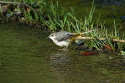 Grey Wagtail photographed at St Martin (Parish) on 25/2/2014. Photo: © Jay Friend