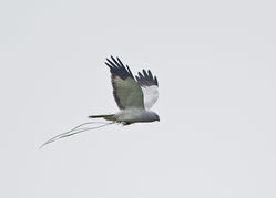 Hen Harrier photographed at Fauxquets Valley [FAU] on 29/4/2014. Photo: © Mike Cunningham
