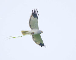 Hen Harrier photographed at Fauxquets Valley [FAU] on 29/4/2014. Photo: © Royston Carr�