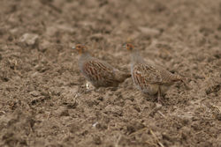 Grey Partridge photographed at Rue des Hougues, STA [H04] on 6/5/2014. Photo: © Rod Ferbrache