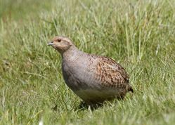 Grey Partridge photographed at Pleinmont [PLE] on 10/5/2014. Photo: © Cindy  Carre