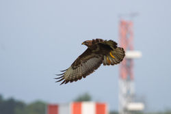 Buzzard photographed at Airport [AIR] on 20/5/2014. Photo: © Adrian Gidney