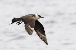 Arctic Skua photographed at Pelagic [PEL] on 24/8/2014. Photo: © Anthony Loaring