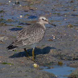 Knot photographed at Pulias [PUL] on 4/9/2014. Photo: © Mark Lawlor