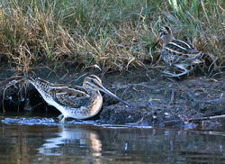 Jack Snipe photographed at Claire Mare [CLA] on 25/9/2014. Photo: © Mike Cunningham