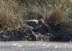 Jack Snipe photographed at Claire Mare [CLA] on 27/9/2014. Photo: © Cindy  Carre