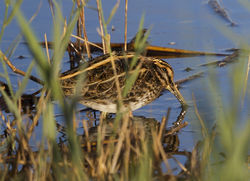 Jack Snipe photographed at Claire Mare [CLA] on 4/10/2014. Photo: © Anthony Loaring