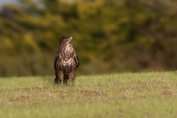Buzzard photographed at La Villaize [VL2] on 7/10/2014. Photo: © J Friend