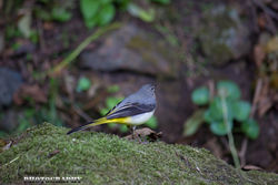 Grey Wagtail photographed at Petit Bot [BOT] on 23/10/2014. Photo: © Danielle Friend
