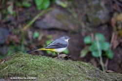 Grey Wagtail photographed at Petit Bot [BOT] on 23/10/2014. Photo: © Daniell� Friend