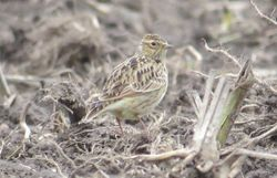 Skylark photographed at Rue des Hougues, STA [H04] on 25/10/2014. Photo: © Wayne Turner