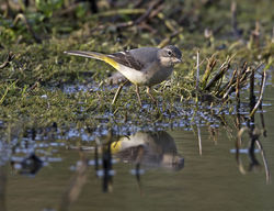 Grey Wagtail photographed at Rue des Bergers [BER] on 31/10/2014. Photo: © Mike Cunningham