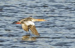 Goosander photographed at Vale Pond [VAL] on 31/10/2014. Photo: © Anthony Loaring