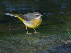 Grey Wagtail photographed at Petit Bot [BOT] on 16/11/2014. Photo: © Rod Ferbrache