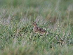 Skylark photographed at Pleinmont [PLE] on 18/11/2014. Photo: © Royston Carr�