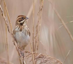 Reed Bunting photographed at Claire Mare [CLA] on 22/11/2014. Photo: © Dan Scott