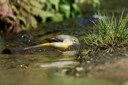 Grey Wagtail photographed at Petit Bot [BOT] on 4/3/2015. Photo: © Jason Friend