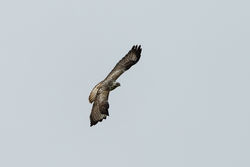 Buzzard photographed at Fauxquets Valley [FAU] on 8/3/2015. Photo: © Jason Friend