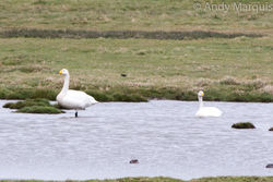 Whooper Swan photographed at Colin Best NR [CNR] on 3/4/2015. Photo: © Andy Marquis