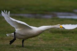Whooper Swan photographed at Colin Best NR [CNR] on 4/4/2015. Photo: © Dan Scott
