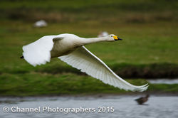 Whooper Swan photographed at Colin Best NR [CNR] on 4/4/2015. Photo: © Jason Friend