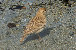 Short-toed Lark photographed at Richmond - Vazon on 18/4/2015. Photo: © Cindy  Carre