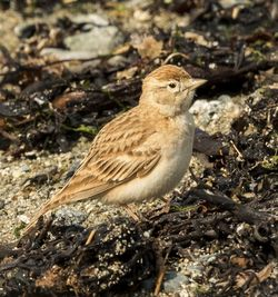 Short-toed Lark photographed at Vazon [VAZ] on 18/4/2015. Photo: © Anthony Loaring