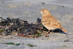 Short-toed Lark photographed at Richmond [RIC] on 19/4/2015. Photo: © Chris Bale