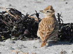 Short-toed Lark photographed at Vazon [VAZ] on 20/4/2015. Photo: ©  Rockdweller