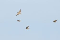 Skylark photographed at Rue des Hougues, STA [H04] on 12/10/2015. Photo: © Jason Friend